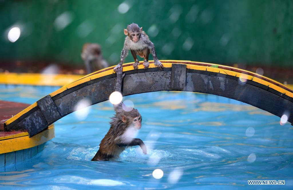 Macaques have fun at Nanwan Monkey Islet in Lingshui County, south China's Hainan Province, April 4, 2021. Nanwan Monkey Islet is a nature reserve with over 2500 macaques living here. (Xinhua/Guo Cheng)