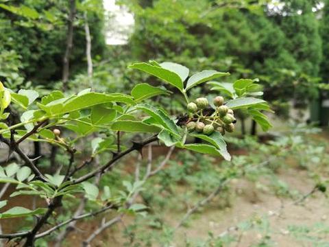 花椒树的养殖方法和注意事项