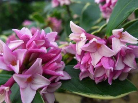 清明将至,养花就养4种花,花色繁多易爆盆,娇艳欲滴