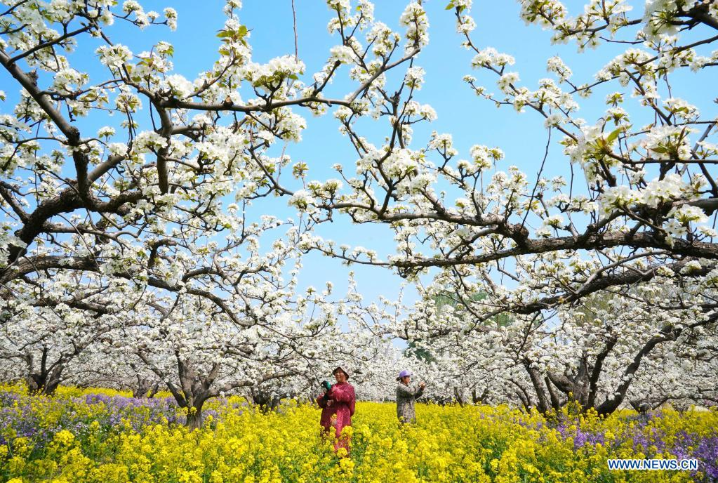 Farmers pollinate pear flowers at a pear orchard in Zhoujiazhuang Township of Jinzhou City, north China's Hebei Province, April 7, 2021. (Xinhua/Yang Shiyao)