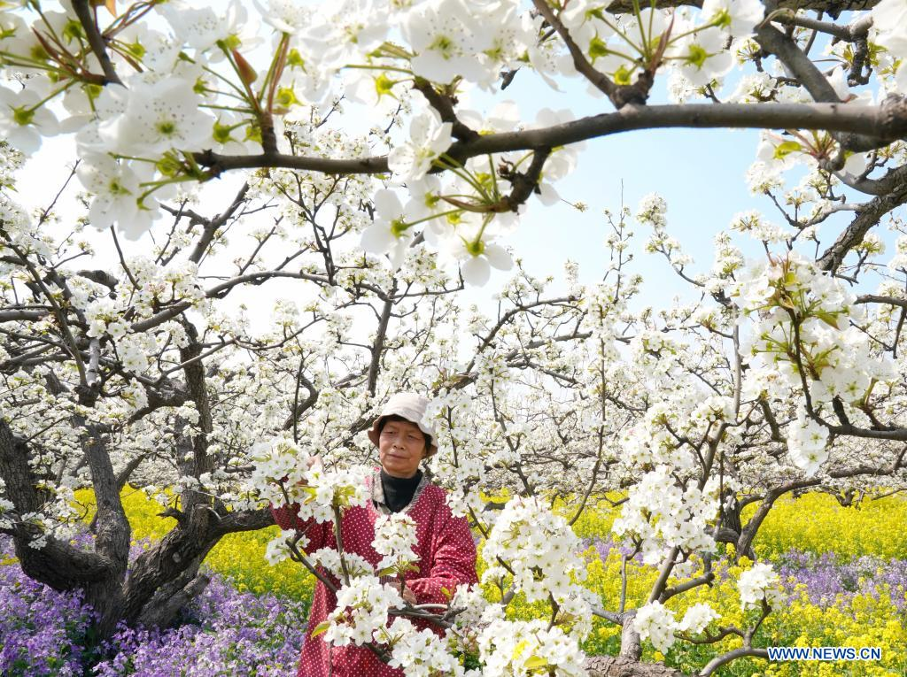 A farmer pollinates pear flowers at a pear orchard in Zhoujiazhuang Township of Jinzhou City, north China's Hebei Province, April 7, 2021. (Xinhua/Yang Shiyao)