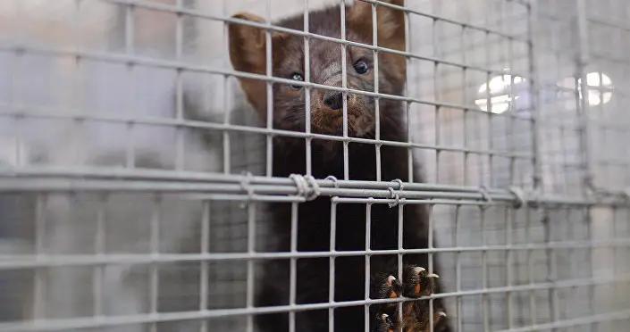 国际毛皮协会:为拯救毛皮产业需为2000万头水貂接种新冠疫苗