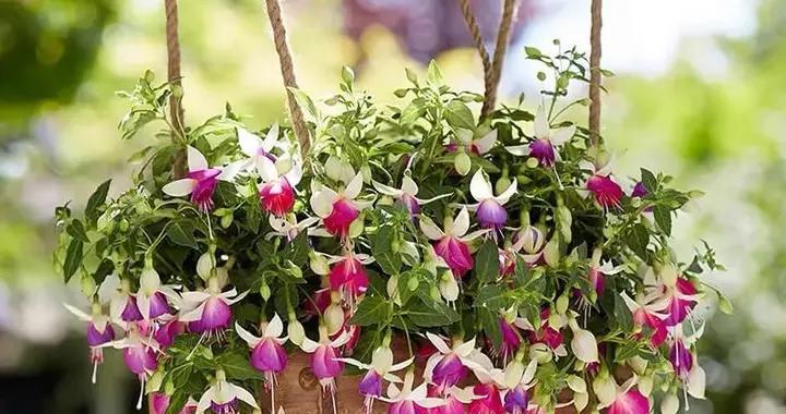 """春天养倒挂金钟,记住这几点,枝头挂满""""小灯笼"""",漂亮又喜庆"""