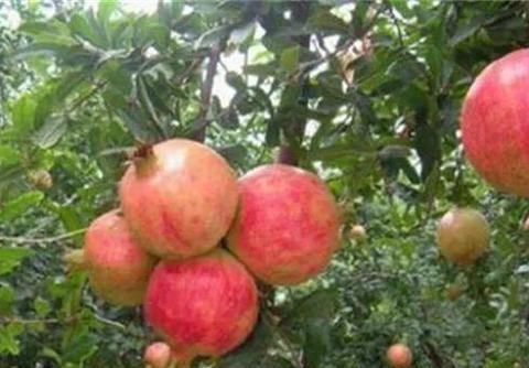 石榴树能否用砍树干的方法促丰产?