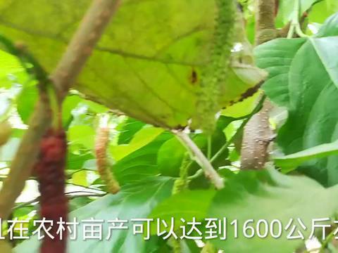 宇哥在农村品尝果实,据说产自泰国,实际上却来自我国台湾省