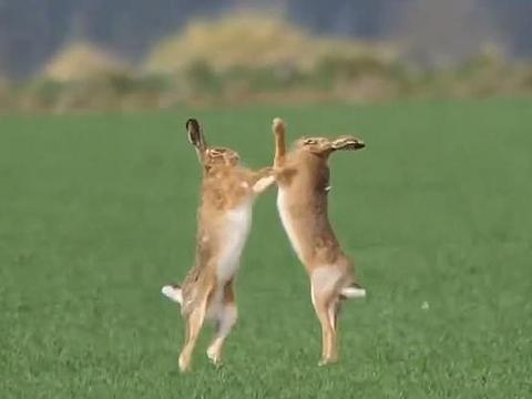 一对英国棕色野兔为什么在田野里打架?