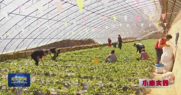 延长县郭旗呼延文杰:培育优质草莓 开动致富快车