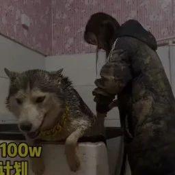 妹纸分享了给哈士奇洗澡时的画面,看完这个我笑劈叉了,哈哈哈
