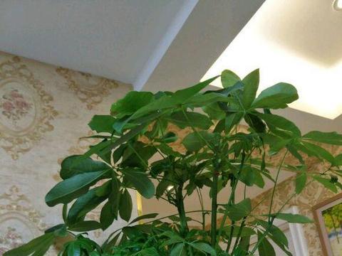发财长寿花绿萝,冬天浇水浇不对,明年就只剩盆了!