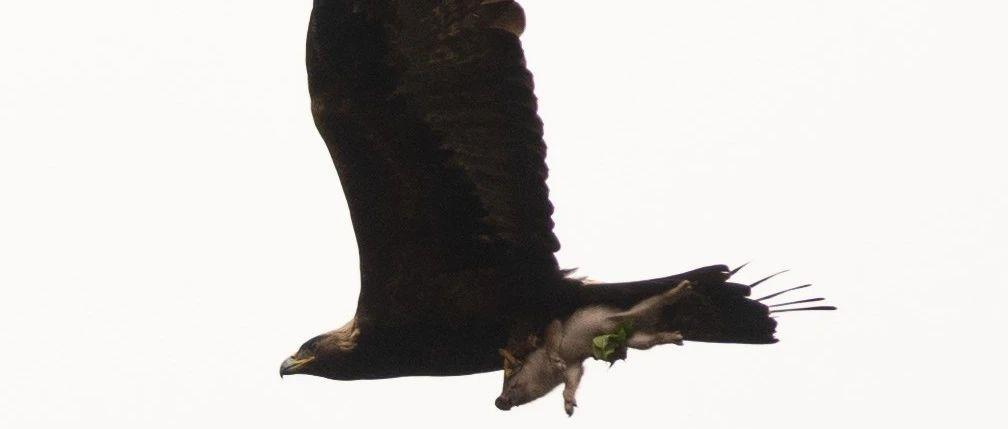 金雕抓着野猪幼崽在空中飞翔!网友:不敢动不敢动……