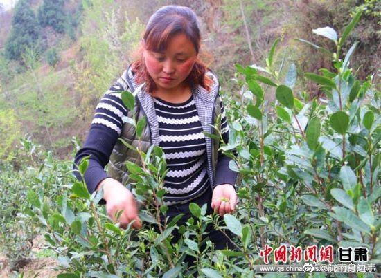 中新网甘肃新闻4月3日电 (通讯员 李智谋)春光灿烂,茶园叠翠……