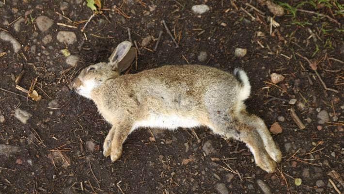 2亿只野兔横行澳洲,射击、毒杀都无效,吃货能消灭它们吗?