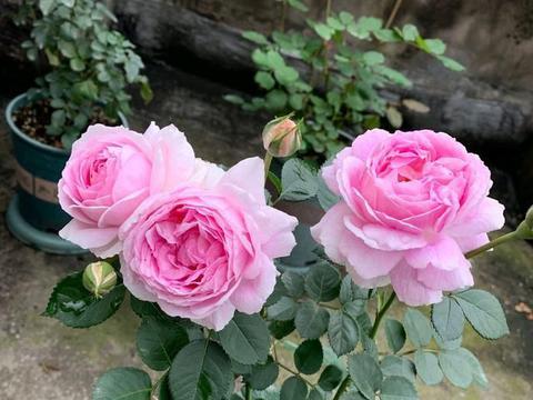 地栽的月季花,通风好,光照好,还非雨季,为什么还有白粉病?