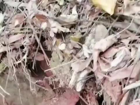 上山采摘草药挖到野生大灵芝,这么大一棵肯定几十年了!