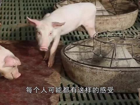 """猪价跌入""""10元时代"""",养殖户纠结:还要跌多久?能不能补栏?"""