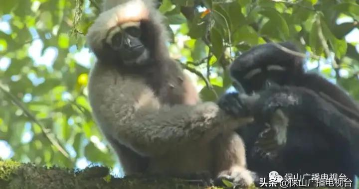 保山:中国白眉长臂猿之乡|生态保山