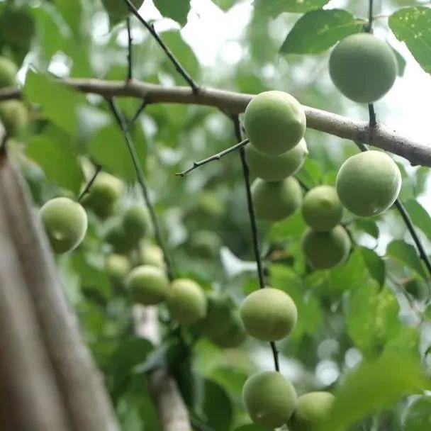 蓝莓熟了、荔枝花开!东莞这些水果今年大丰收,馋得流口水!