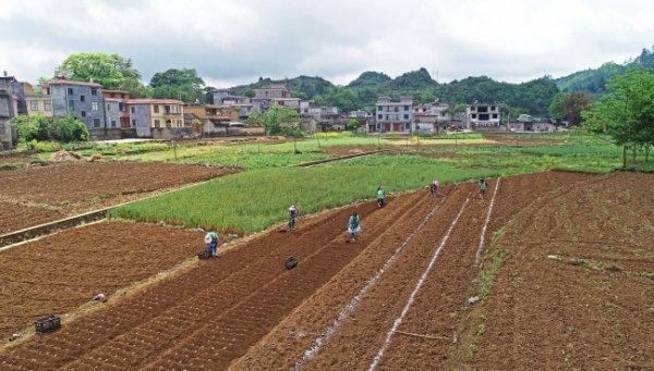 兴义市敬南镇今年魔芋种植面积将达800亩