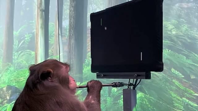 马斯克的脑机公司NeuraLink发布了一段猴子玩游戏视频
