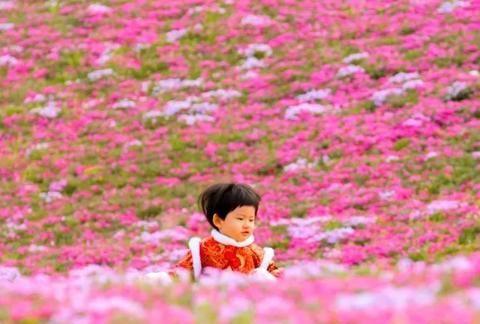 """当花开满山间 济南历下这片""""福禄考花海""""您看了吗?"""
