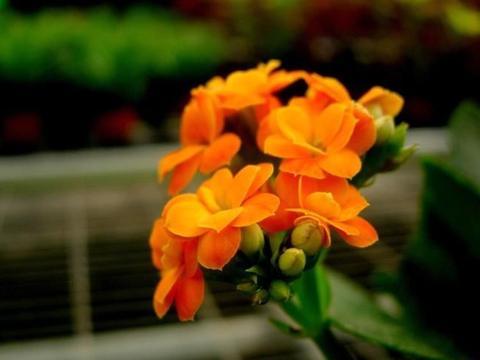 学会这4点,冬季再冷长寿也可以花开不断,开出的花又大又艳!