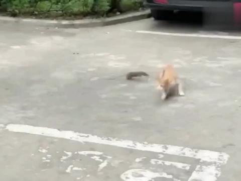 猫咪:你个大耗子还跟我装呢!看我咋收拾你的