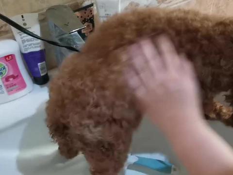 又到了洗狗的季节了,小泰迪全靠一身毛漂亮的,毛洗湿了太难看了