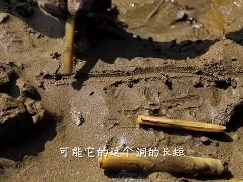 纹铭赶海:竹节蛏真的喜欢盐吗?今天我们来探索一下它的故事