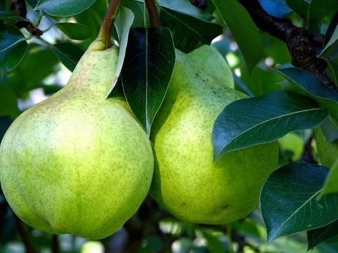 五月苹果、梨、桃、枣、葡萄园管理历