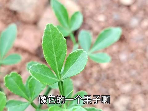 上海粉丝要高价购买的植物,很少人知道药用价值高,到底有啥作用