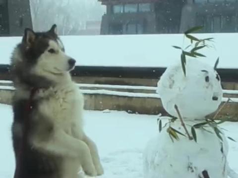 大雪中练功的二哈,站如钟坐如松,这呆滞的小表情看着好想笑啊!