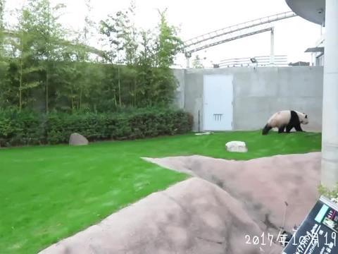 两只大熊猫太可爱了,趟下太有画面感了