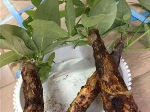 发财树生长总是烂根,什么原因造成的,怎么办?