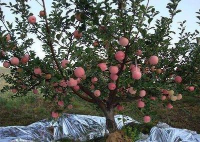 有些苹果产地价格大跌,一斤6毛都难卖,究竟是咋回事?