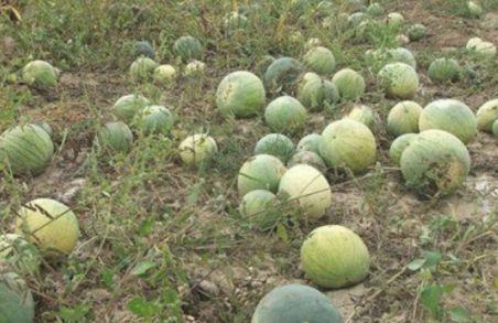 男子参观农家院,发现西瓜直接被扔,结果男子尴尬了