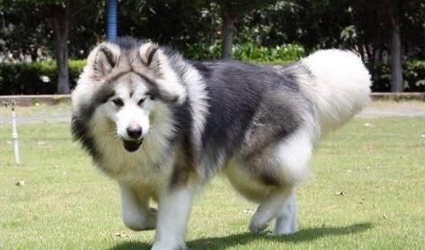 成年阿拉斯加一天吃多少狗粮