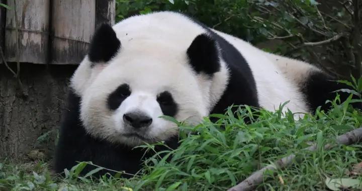 四川成都:大熊猫春日卖萌惹人爱