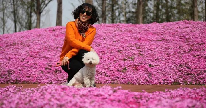 山东日照白鹭湾滨海公园湿地芝樱花绚烂绽放 游客漫步花海拥抱春天