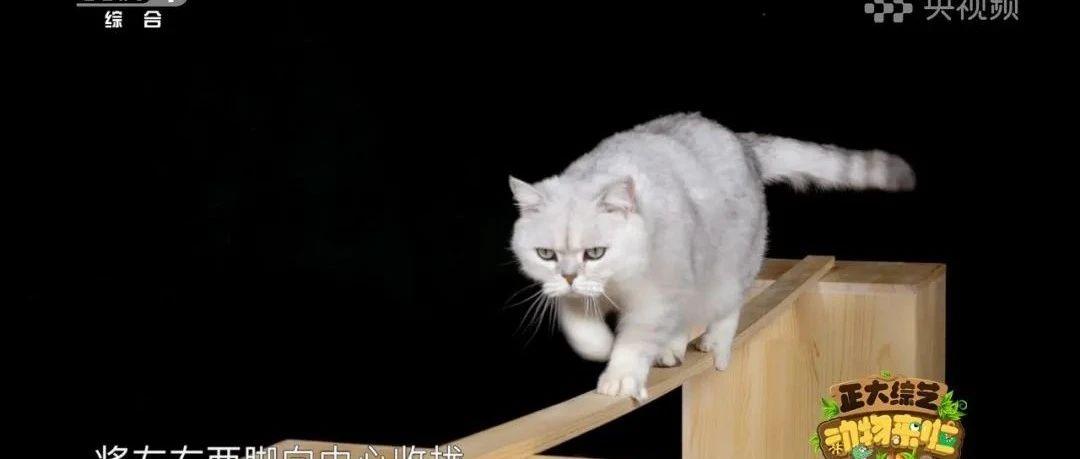 猫步究竟有多稳?今天18点档,CCTV-1《动物来啦》带您看紧张刺激的猫咪独木桥挑战赛!