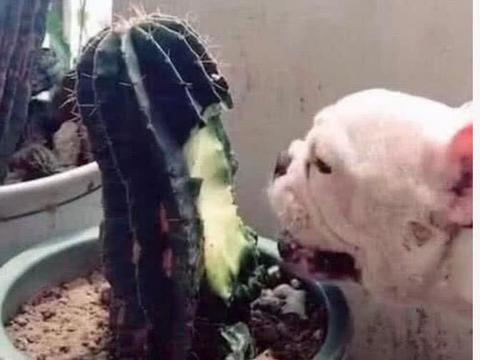 女子加班忘记喂狗,下班回家开门后,看到狗狗的样子愧疚了