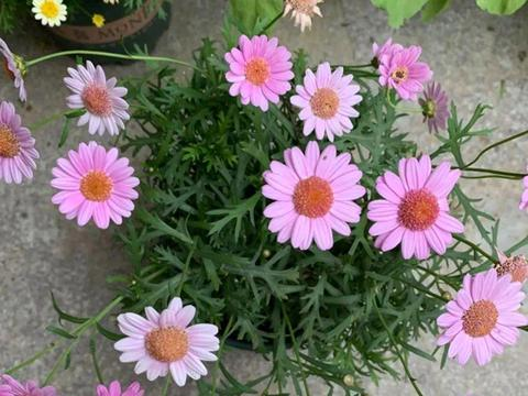 盘点菊花园艺品种,这3种大众都喜欢,怎么养好呢?