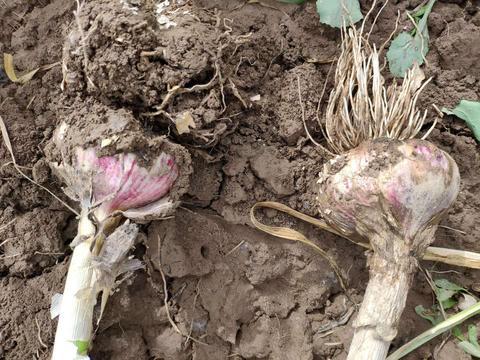 作物根系不好、长势差、产量低怎么办?