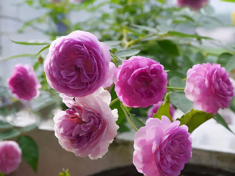 阳台种棵玛姬婶婶,开花香又美,可四季开花,打造花园美极了