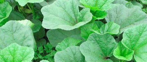 经常吃这种野菜,不仅能够调养身体,同时还能够起到美容养颜作用
