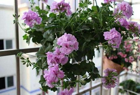 """居家养花,首选这3种,一年四季有花赏,堪称""""开花劳模"""""""