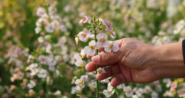 粉色、白色、橘红色……亳州这里的油菜花,堪称奇特!
