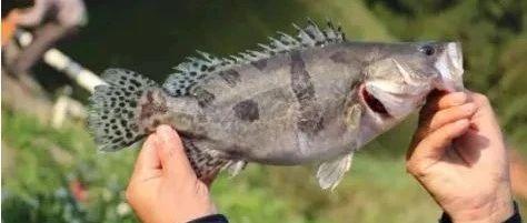 加州鲈涨0.5元/斤!大规格鱼紧缺!
