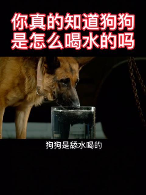 你真的知道狗狗是怎么喝水的吗?来一起慢镜头下看狗狗喝水!