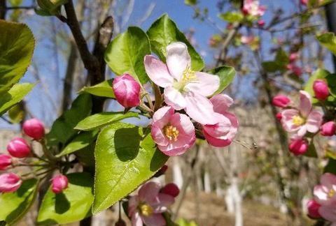 西府海棠是怎样的树种