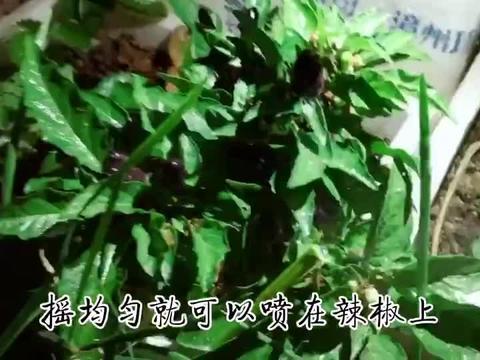阳台种的辣椒长虫了!
